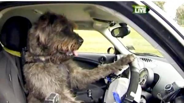 perros abandonados aprenderan a conducir